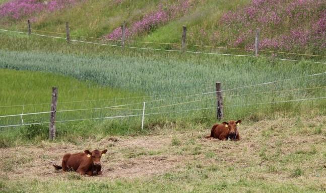 Zwei Kühe liegend auf einer Wiese