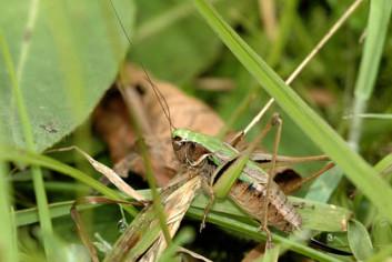 Kurzflügelige Beißschrecke