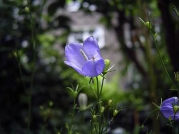Lanzettblättrige Glockenblume