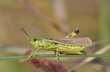Sumpfschrecke