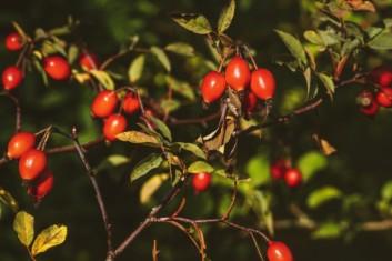 Samtige Apfelrose