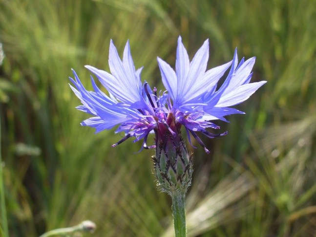 Deatailaufnahme einer blauvioletten Kornblume