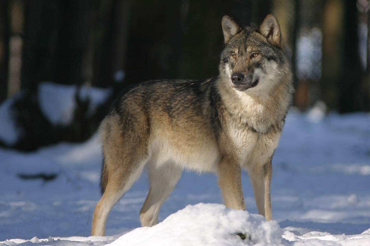 Wolf Video