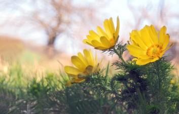 Frühlings-Adonisröschen