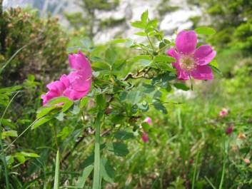 Alpen-Heckenrose